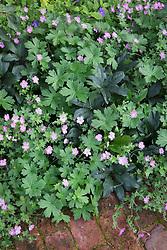 Helleborus × ericsmithii 'Merlin' foliage with Geranium 'Mavis Simpson' AGM