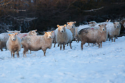 © Licensed to London News Pictures. 14/01/2015. Wheddon Cross, Devon, UK. A flock of sheep in a field of snow near Exmoor National Park in Devon this morning, 14th January 2015. Snow has fallen overnight across many parts of England, causing travel disruption in some areas.  Photo credit : Rob Arnold/LNP