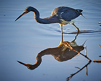 Tricolored Heron. Biolab Road, Merritt Island National Wildlife Refuge. Image taken with a Nikon D4 camera and 600 mm f/4 VR lens (ISO 450, 600 mm, f/4, 1/1250 sec).