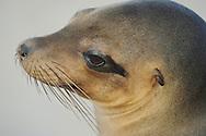 Galapagos Sea Lion (Zalophus wollebaeki), Punta Suarez, Española, Galapagos, Ecuador
