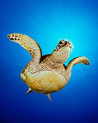 green sea turtle, Chelonia mydas, juvenile, Hanauma Bay Nature Preserve, Oahu, Hawaii, USA, Pacific Ocean, digital composite