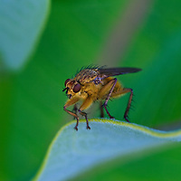 A close-up of a golden dung fly (Scathophaga stercoraria) perched on the edge of a milkweed leaf, Big Meadow, Shenandoah National Park, Virginia