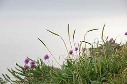 Sea Plantain growing on cliffs at The Lizard Peninsula, Cornwall. Plantago maritima