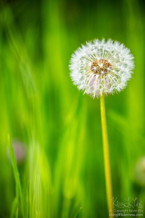 A dandelion (Taraxacum officinale) seedhead stands among blades of grass in Snohomish County, Washington. Each of the flower's seeds is attached to a feathery parachute called a pappus, which allows the wind to carry the seeds great distances.