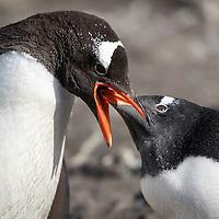 Pygoscelis papua, Livingston Island, Antarctica, February 2019 Parent feeding chick.