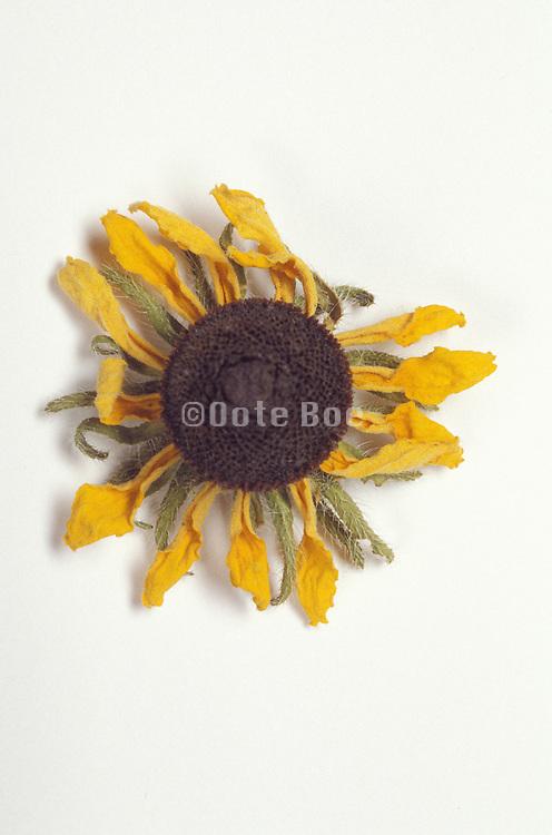 Still life of a dried flower Black eyed Susan