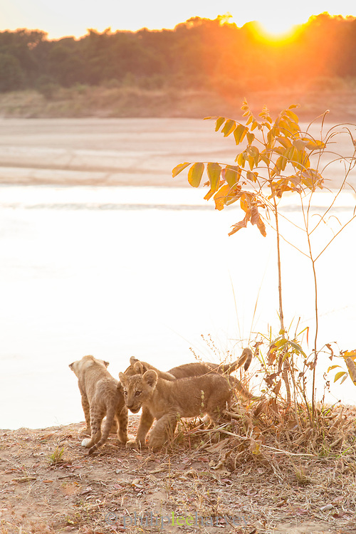 Lion cubs by river at sunset in South Luangwa National Park, Zambia