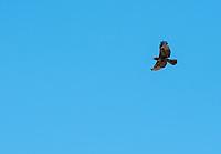 A juvenile Red-tailed Hawk, Buteo jamaicensis, flies over Sacramento National Wildlife Refuge, California