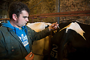 During the regular weekly visit from the vet, James Clark gives and injection to a cow which has been diagnosed as not in calf. Keeping a healthy herd as well as trying to ensure that each cow has one calf per year and is hopefully therefore served within three months of their previous calf, is a big job and requires a weekly visit from vet Katharine Blease, who checks the health of pre and post natal cows, as well as calves. Wildon Grange Dairy Farm, Coxwold, North Yorkshire, UK. Owned and run by the Banks family, dairy farming here is a scientific business, where nothing is left to chance. From the breeding, nutrition and health of their closed stock of Holstein Friesian cows, through to the end product, the team here work tirelessly, around to clock to ensure content and healthy animals, and excellent quality milk. (photo by Mike Kemp/In Pictures via Getty Images)