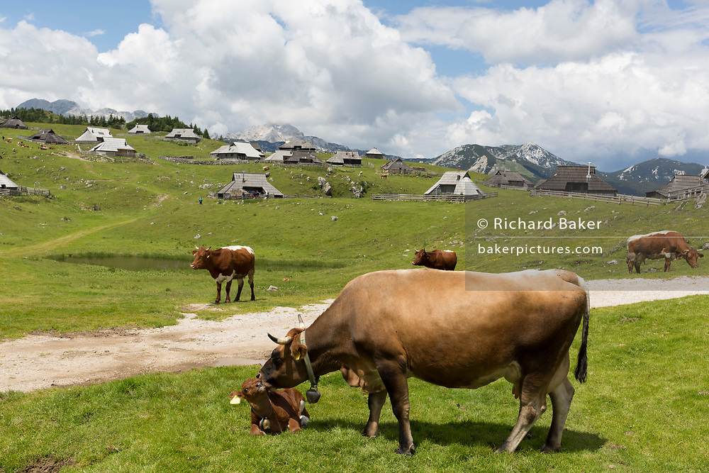 Grazing cows near the collection of Slovenian herders' mountain huts in Velika Planina, on 26th June 2018, in Velika Planina, near Kamnik, Slovenia. Velika Planina is a mountain plateau in the Kamnik–Savinja Alps - a 5.8 square kilometres area 1,500 metres (4,900 feet) above sea level. Otherwise known as The Big Pasture Plateau, Velika Planina is a winter skiing destination and hiking route in summer. The herders' huts became popular in the early 1930s as holiday cabins (known as bajtarstvo) but these were were destroyed by the Germans during WW2 and rebuilt right afterwards by Vlasto Kopac in the summer of 1945.