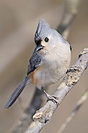 A Small Bird, The Tufted Titmouse Striking A Curious Pose, Parus bicolor