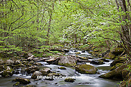 66745-04120 Dogwood trees in spring along Middle Prong Little River, Tremont Area, Great Smoky Mountains National Park, TN