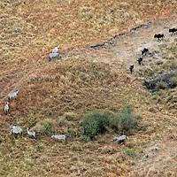 Africa, Kenya, Masai Mara. Zebra herds forming part of the Great Migration in the Masai Mara.