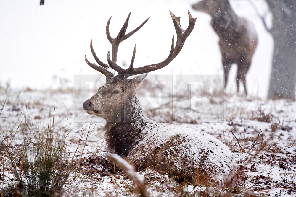 © Licensed to London News Pictures. 02,03,2018. Richmond, UK.  Deer in heavy snow today 2nd March 2018 in Richmond Park London. Severe weather warnings are still in place across most of the UK. Photo credit: Stephen Simpson/LNP