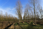 Lines of cricket bat willow tree, Salix alba Caerulea, in winter, Bromeswell, Suffolk, England, UK