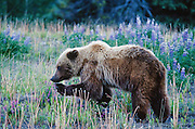 Yukon Territory, Haines Highway 64 miles south of Haines Junction. Grizzly Bear. Pea and Lupine Flowers. July.