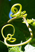 Jesse selected macro vine tendril details