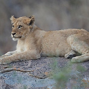 Young African lion cub on rocks. South Africa.