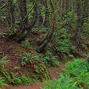 Trail Of Ferns And Mossy Trees - Oregon Coast