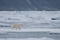Polar bear (Ursus maritimus) on ice floe, Svalbard, Norway