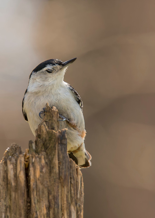 A rather content little nuthatch chilling on a perch