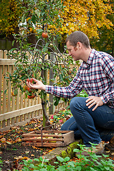 Checking apples are ripe before picking - Malus domestica