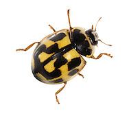 14-spot Ladybird - Propylea 14-punctata