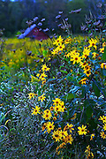 Wild Flowers n Barn in Brown County Indiana