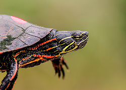 A turtle takes a swim in a pond at Busch Wildlife in Saint Charles, Missouri