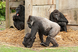 © Licensed to London News Pictures. 20/12/2016. Bristol, UK. ** EMABARGOED TILL 00.01am, WEDNESDAY 21 DECEMBER 2016 **. AFIA, a western lowland gorilla who is 10 months old IS carried by her surrogate mother gorilla Romina on one hand. Afia now lives with the other gorillas at Bristol Zoo, after being born by caesarian section on 12 February this year. Keepers at Bristol Zoo have announced that their 'little miracle' Afia, the young Western lowland gorilla who has been hand-reared since birth, is now fully integrated with the gorilla troop. It's been an eventful journey since the young primate was born 10 months ago by emergency caesarean section and fought for her life before being cared for by keepers to ensure her survival.<br />  In that time keepers have given more than 1,570 bottle feeds, changed nearly 1,400 nappies, given 112 piggy back rides, and spent countless sleepless nights caring for her round-the-clock. Now, having reached a huge milestone, Afia is no longer being cared for by keepers but is spending 24-hours a day with her new gorilla family. She can often be seen exploring her new home on Gorilla Island, or clinging onto her new, surrogate mother gorilla, Romina. Photo credit : Simon Chapman/LNP
