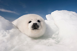 A harp seal pup called a white coat seeks shelter from the relentless winds that scour the sea ice nursery in the Gulf of St. Lawrence near Magdalen Island, Quebec. Harp seal pups depend on stable sea ice for survival after they are born in the ice nursery in late February and nursed for 12-15 before their mother abandons them. Recent years of higher temperatures have resulted in unstable sea ice and early break up of the nursery causing mass moratlity of pups. <br /> <br /> BIO: Jennifer Hayes is an aquatic biologist and photojournalist specializing in natural history and ocean environments from the tropics to the polar regions. Jennifer is a contributing photographer, author and speaker for National Geographic Partners and visiting professor of marine ecology, State University of New York.<br />  <br /> Jennifer's passion for the study and conservation of sharks and sturgeons lead to graduate degrees in zoology and marine biology.  Jennifer is an award-winning photographer, author of numerous publications and books on marine environments and recipient of the Presidential Award for Environmental Education. Her work has been featured on CNN, ABC Good Morning America, Nat Geo Wild, Nat Geo Channel and  Disney. She is a trustee of the Shark Research Institute, Explorer Club Fellow, Contributing Editor for Ocean Geographic Magazine and Principal for Elysium Artists for Antarctic, Arctic and Coral Triangle Expeditions. <br /> <br /> WEBSITE: underseaimagesinc.com<br /> INSTAGRAM: @jenniferhayesig