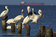 (PHOTO BY KEVIN BARTRAM)<br /> A pelican lands on a piling near the Texas City Dike on Monday, March 17, 2003 in Texas City, Texas. Warmer weather is signaling the approach of spring later this week.