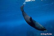 Galapagos fur seal, Arctocephalus galapagoensis, Darwin Island, Galapagos ( Eastern Pacific Ocean )