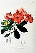 Rhododendrum javanicum (Rhododendron javanicum) from the 19th century manuscript 'Plantae Javanicae rariores, descriptae iconibusque illustratae, quas in insula Java, annis 1802-1818' (Java Plants, Description of plants on the island of Java) by Horsfield, Thomas, 1773-1859 Published in Latin in London in 1838