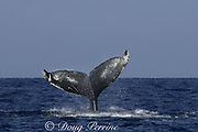 humpback whale, Megaptera novaeangliae, flukes with orca tooth scars, Kona, Hawaii, fluke patterns used to i.d. individual whales, NMFS research permit #587