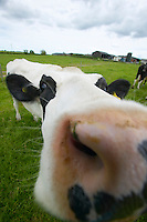 British Holstein Fresian cattle on an organic dairy farm