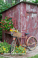 63821-22213 Old bicycle with flower basket next to old outhouse garden shed.  Red Wing Begonias, Zinnias, Snapdragons  (Antirrhinum sp.)  Marion Co., IL
