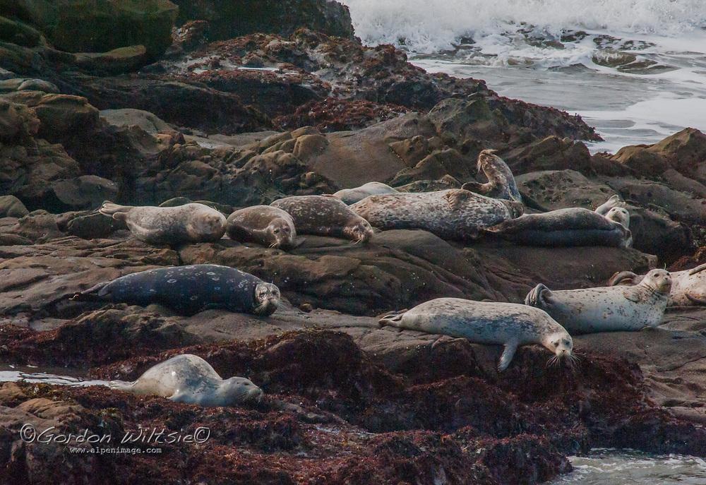 Harbor Seals (Phoca vitulina) rest on rocks near Pescadero, California as Pacific Ocean surf pounds behind them.