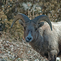 Bighorn Sheep graze in the Madison Range near Big Sky, Montana.
