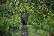 African forest elephant<br /> Lekoli River<br /> Republic of Congo (Congo - Brazzaville)<br /> AFRICA<br /> Range: Central West Africa<br /> ENDANGERED SPECIES
