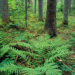 Randolph, NH. Ferns grow in the understory of a lowland spruce-fir forest near the Moose River in NH's White Mountains. Androscoggin River watershed.