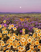 Tidy-tips, Phaceliaand Moon at Sunrise, Carrizo Plain National Monument, California