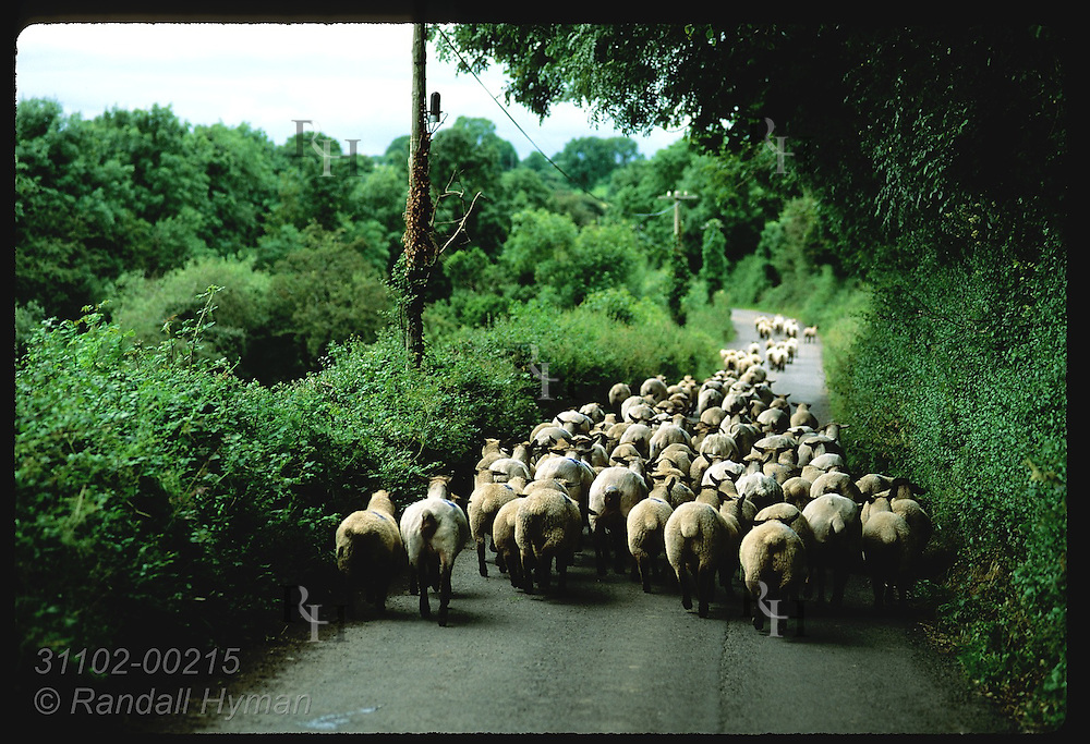 Flock of sheep crowds down a country road on a summer evening near the town of Gort. Ireland