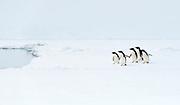 Adelie penguines (Pygoscelis antarctica) on the ice shelf at Kinnes Cove, Paulet Island, Antartica.