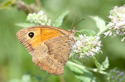 Meadow Brown Butterfly, Maniola jurtina, Macin sulucu valley, Ciucurova valley, Dobrogea, Romania, feeding on flower, underside of wings, probiscus