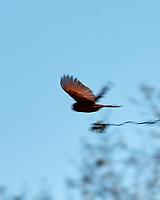 Northern Cardinal (Cardinalis cardinalis). Image taken with a Nikon D2xs camera and 80-400 mm VR lens.