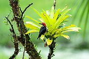 The black-cheeked woodpecker (Melanerpes pucherani) is a resident breeding bird from southeastern Mexico south to western Ecuador. This woodpecker occurs in the higher levels of wet forests, semi-open woodland and old second growth. It nests in an unlined hole 6–30 m (20–98 ft) high in a dead tree. The clutch is two to four glossy white eggs, incubated by both sexes