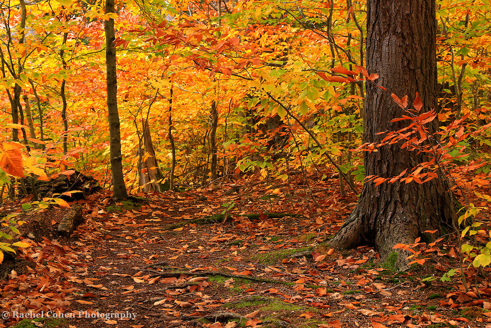 """""""Within Golden Glory""""<br /> <br /> All the beauty of a golden autumn in the woods!!<br /> <br /> Autumn Landscapes by Rachel Cohen"""