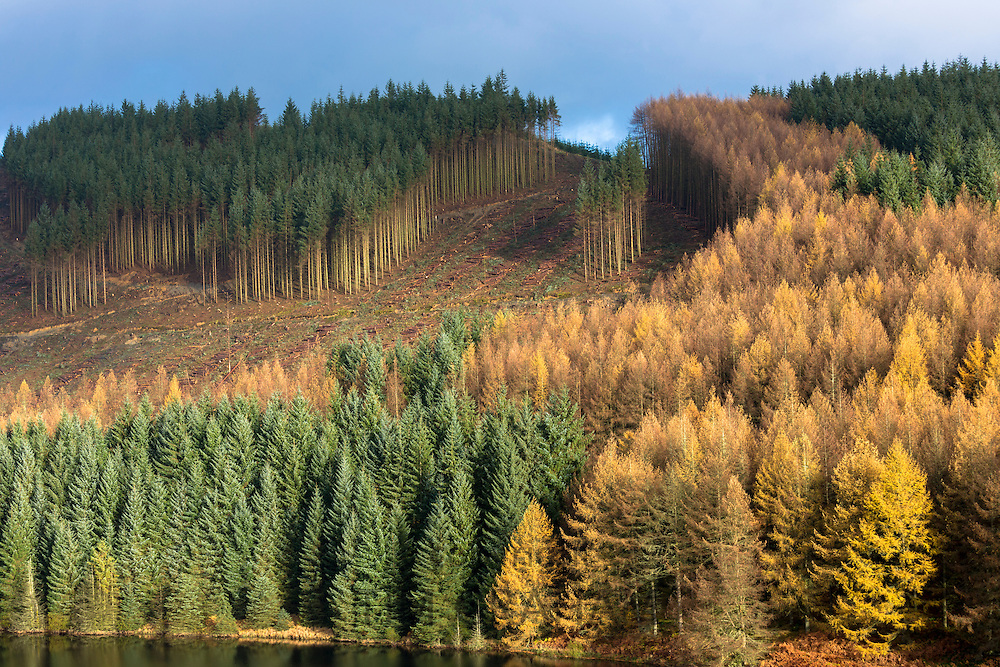 Tall European Larch trees, Larix decidua, in Fall color cultivated in coniferous forest plantation for logging timber production in the Brecon Beacons, Wales, UK
