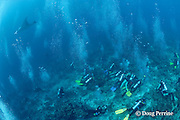 a reef manta ray, Manta alfredi (formerly Manta birostris ), leaves a cleaning station crowded with scuba divers on coral reef at Manta Point, Lankan, North Male Atoll, Maldives ( Indian Ocean )